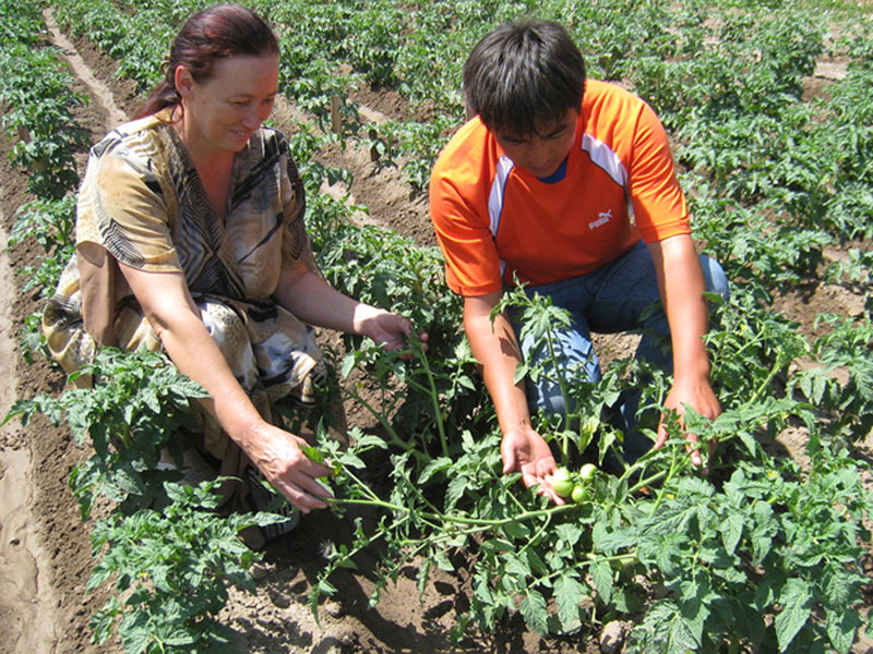 Tomato trial in Kyrgyz research Instiitute of Crop Huxbandry