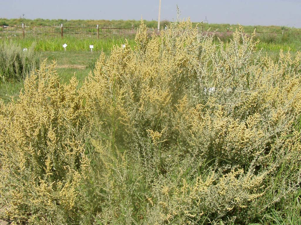 Woody perennial halophyte shrub  Atriplex undulata introduced from ICBA in flowering  and fruit maturation stages